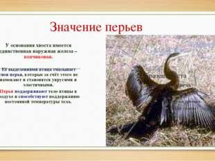 Значение перьев У основания хвоста имеется единственная наружная железа – коп
