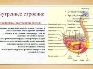 Внутреннее строение Позвоночные(внутренний скелет) Внутренние органы птиц име