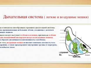 Дыхательная система ( легкие и воздушные мешки) Птицы отличаются своеобразным