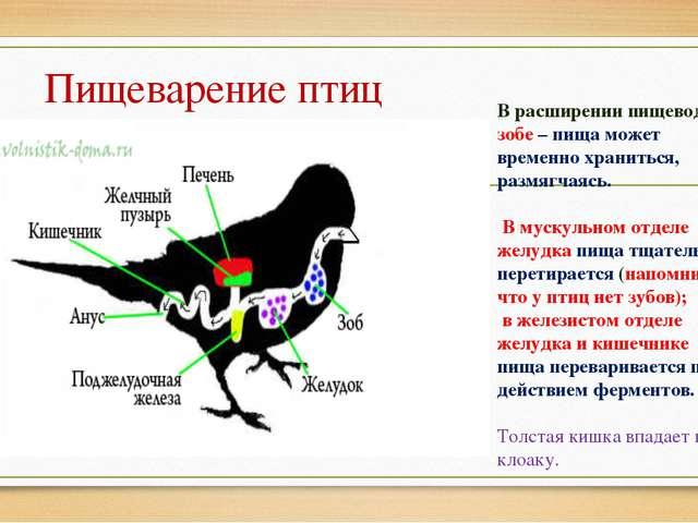 Пищеварение птиц В расширении пищевода – зобе – пища может временно храниться...