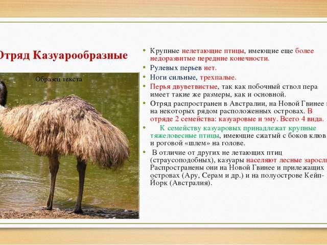 Отряд Казуарообразные Крупные нелетающие птицы, имеющие еще более недоразвиты...