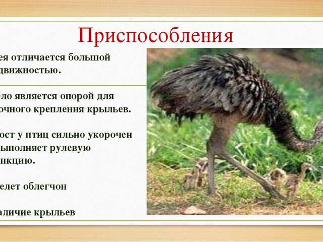 Презентация по биологии на тему Класс птицы класс  Приспособления Шея отличается большой подвижностью Тело является опорой для