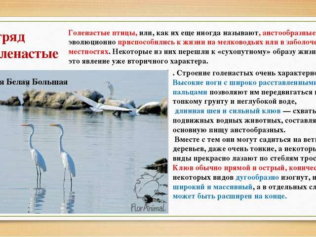 Отряд Голенастые Голенастые птицы, или, как их еще иногда называют, аистообра...
