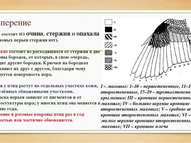 Оперение Перо состоит из очина, стержня и опахала (у пуховых перьев стержня н...