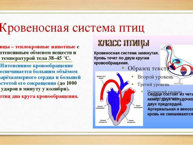 Кровеносная система птиц Птицы – теплокровные животные с интенсивным обменом...