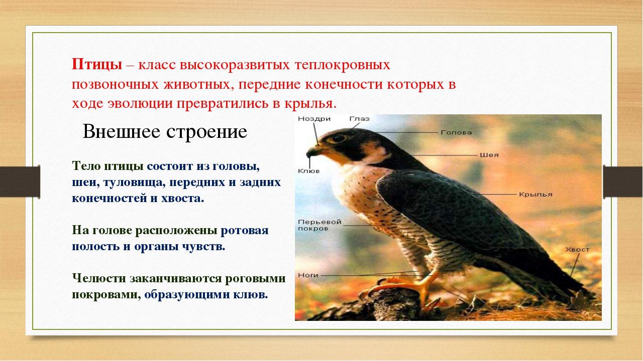 Птицы – класс высокоразвитых теплокровных позвоночных животных, передние коне...
