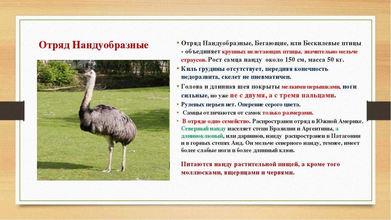 Отряд Нандуобразные Отряд Нандуобразные, Бегающие, или Бескилевые птицы - объ...