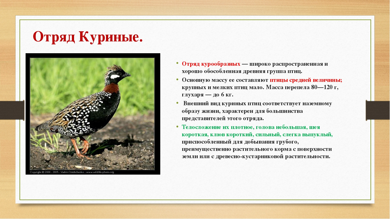 Отряд Куриные. Отряд курообразных — широко распространенная и хорошо обособле...