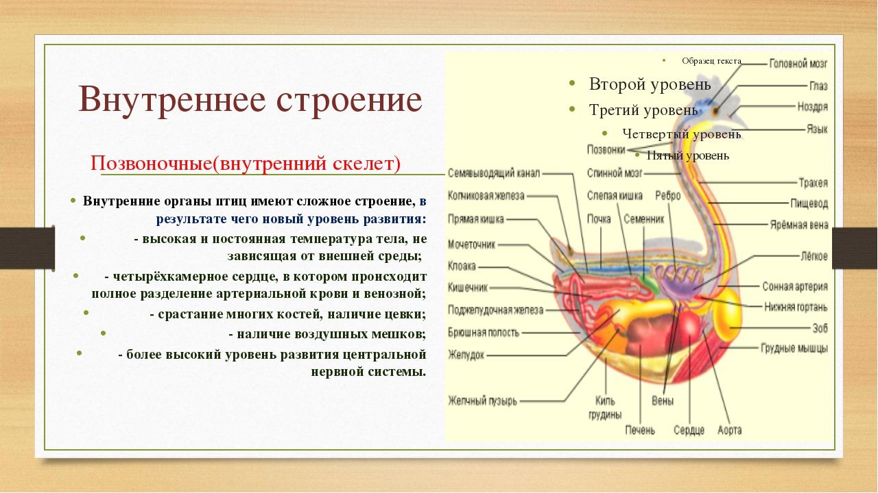 Внутреннее строение Позвоночные(внутренний скелет) Внутренние органы птиц име...