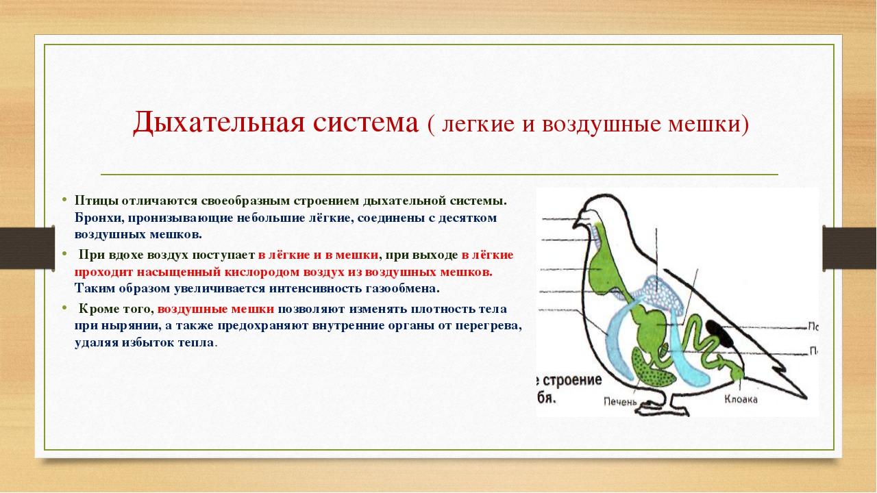 Дыхательная система ( легкие и воздушные мешки) Птицы отличаются своеобразным...