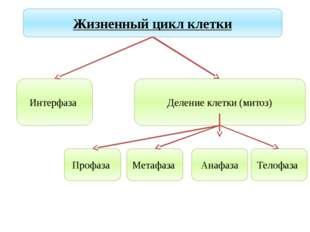 Учитель биологии Деулина Ирина Юрьевна Жизненный цикл клетки Интерфаза Делени