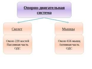 Учитель биологии Деулина Ирина Юрьевна Опорно-двигательная система Скелет Мыш