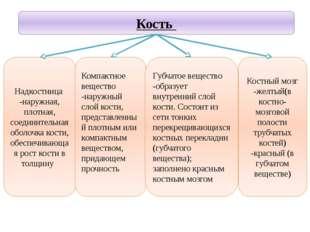 Учитель биологии Деулина Ирина Юрьевна Костный мозг -желтый(в костно- мозгово