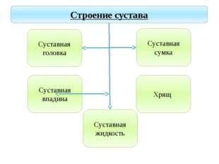 Учитель биологии Деулина Ирина Юрьевна Строение сустава Суставная головка Сус
