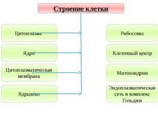 Учитель биологии Деулина Ирина Юрьевна Рибосомы Клеточный центр Митохондрии Э