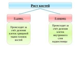 Учитель биологии Деулина Ирина Юрьевна Рост костей В длину Происходит за счёт