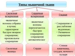 Учитель биологии Деулина Ирина Юрьевна Скелетные мышцы Сердце Стенки кишечник