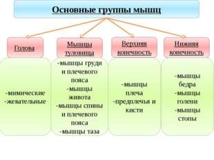 Учитель биологии Деулина Ирина Юрьевна Основные группы мышц Голова Мышцы туло