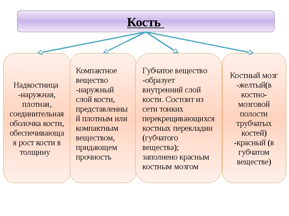 Учитель биологии Деулина Ирина Юрьевна Костный мозг -желтый(в костно- мозгово...