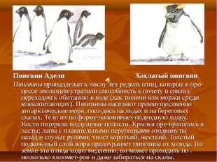 Пингвин Адели Хохлатый пингвин Пингвины принадлежат к числу тех редких птиц,