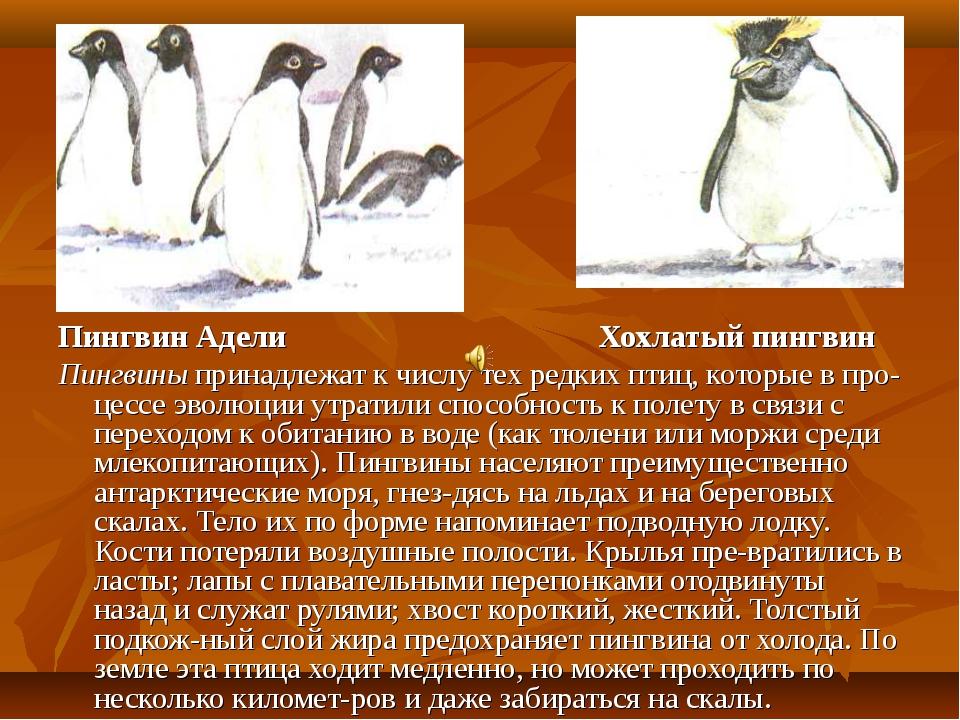 Пингвин Адели Хохлатый пингвин Пингвины принадлежат к числу тех редких птиц,...