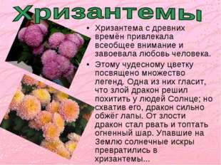 Хризантема с древних времён привлекала всеобщее внимание и завоевала любовь ч