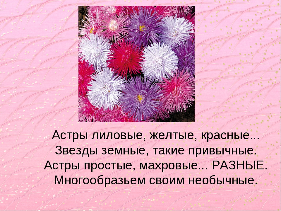Астры лиловые, желтые, красные... Звезды земные, такие привычные. Астры прост...