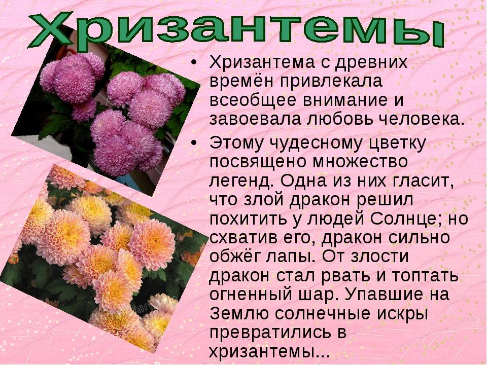Хризантема с древних времён привлекала всеобщее внимание и завоевала любовь ч...