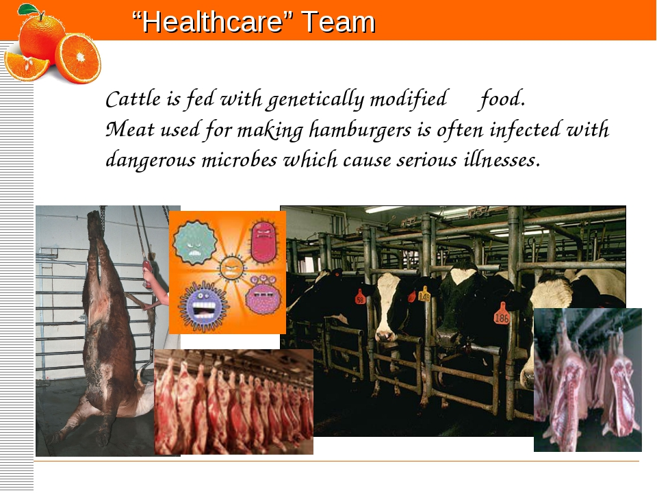 Cattle is fed with genetically modified food. Meat used for making hamburger...