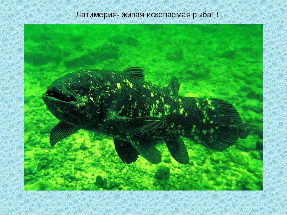 Латимерия- живая ископаемая рыба!!!