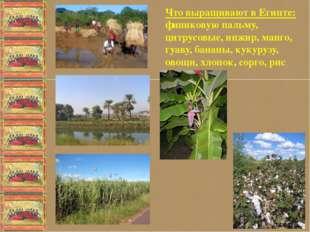Что выращивают в Египте: финиковую пальму, цитрусовые, инжир, манго, гуаву,