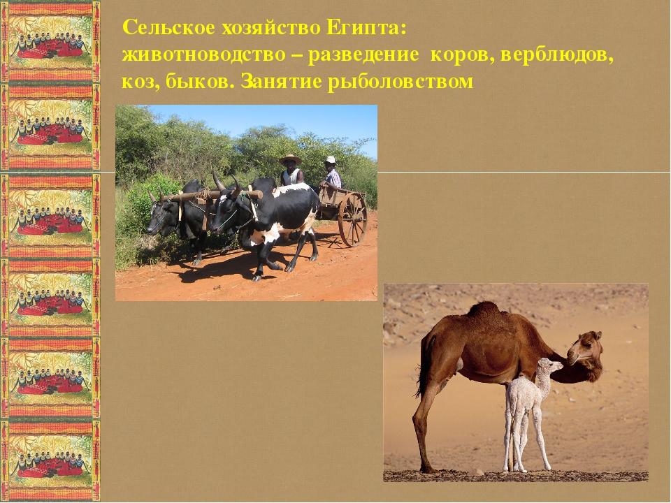 Сельское хозяйство Египта: животноводство – разведение коров, верблюдов, коз...