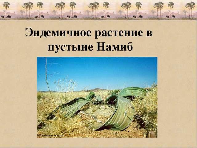 Эндемичное растение в пустыне Намиб