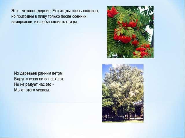 Это – ягодное дерево. Его ягоды очень полезны, но пригодны в пищу только посл...