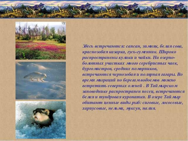 Здесь встречаются: сапсан, зимняк, белая сова, краснозобая казарка, гусь-гуме...