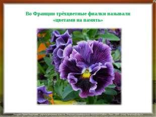 Во Франции трёхцветные фиалки называли «цветами на память» Лазарева Лидия Анд