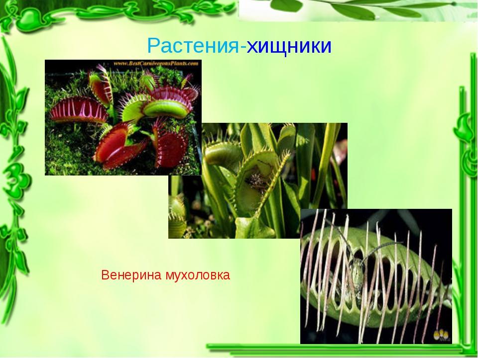 Растения-хищники Венерина мухоловка