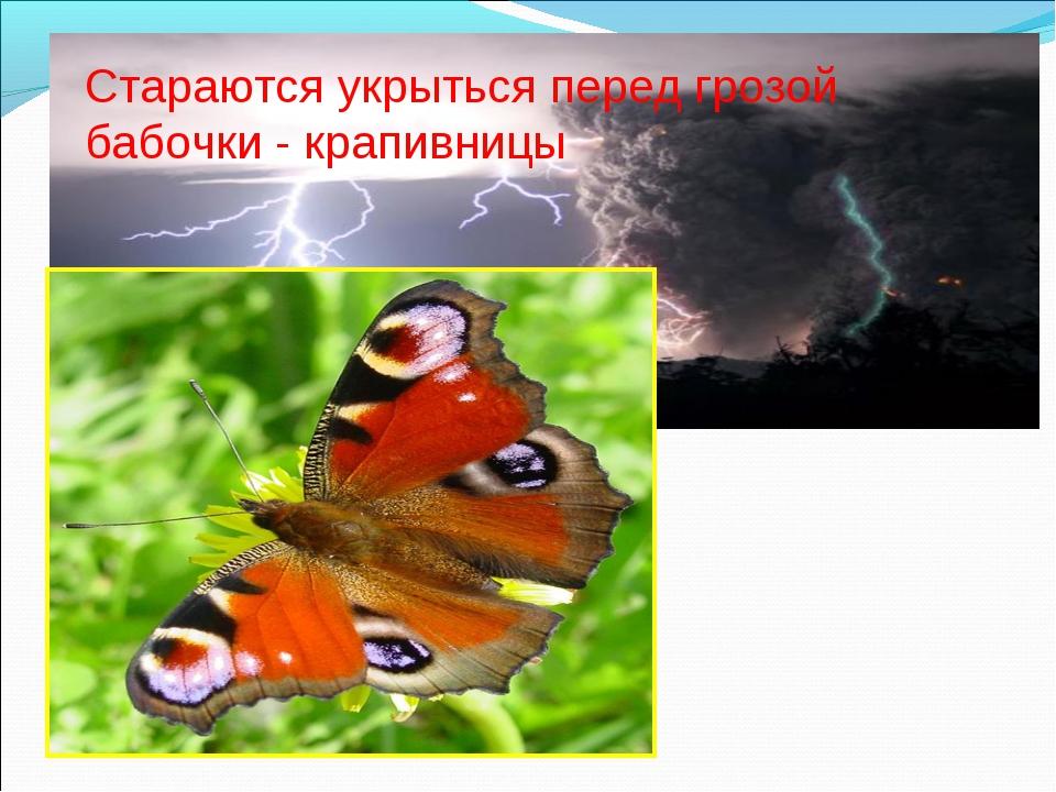 Стараются укрыться перед грозой бабочки - крапивницы