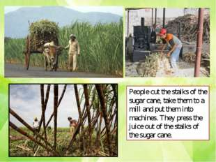 People cut the stalks of the sugar cane, take them to a mill and put them int
