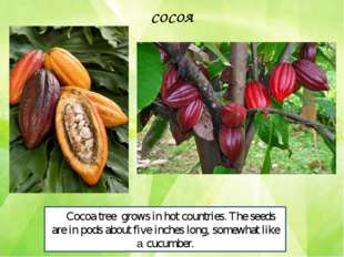 Cocoa tree grows in hot countries. The seeds are in pods about five inches lo