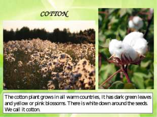 COTTON The cotton plant grows in all warm countries, It has dark green leaves