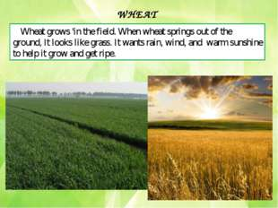 Wheat grows 'in the field. When wheat springs out of the ground, It looks lik