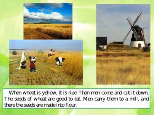 When wheat is yellow, it is ripe. Than men come and cut it down, The seeds of