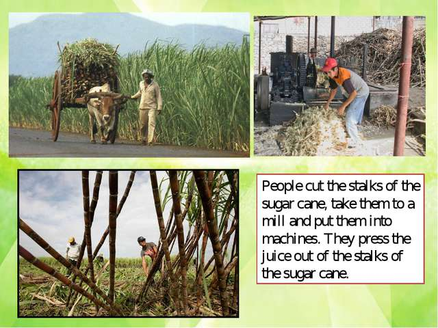 People cut the stalks of the sugar cane, take them to a mill and put them int...