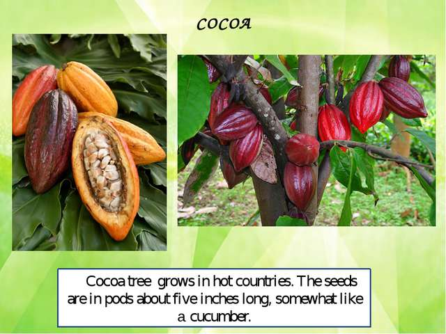 Cocoa tree grows in hot countries. The seeds are in pods about five inches lo...