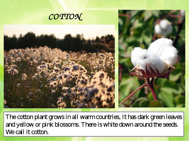 COTTON The cotton plant grows in all warm countries, It has dark green leaves...
