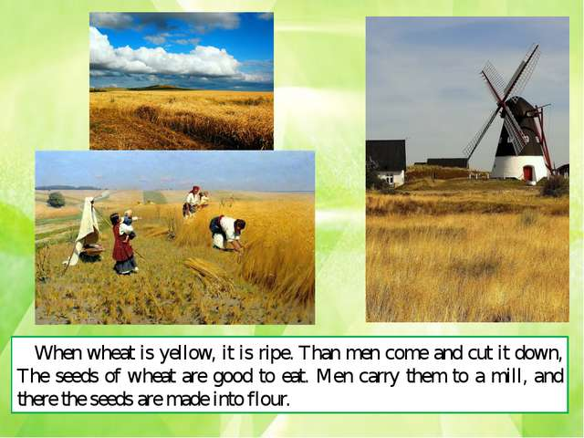 When wheat is yellow, it is ripe. Than men come and cut it down, The seeds of...