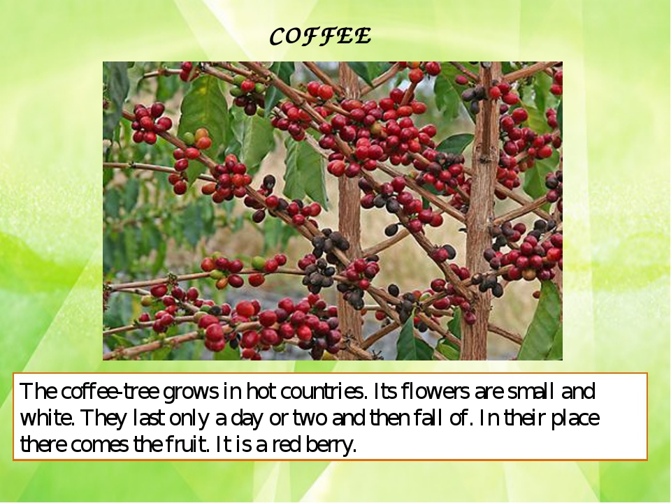 COFFEE The coffee-tree grows in hot countries. Its flowers are small and whit...