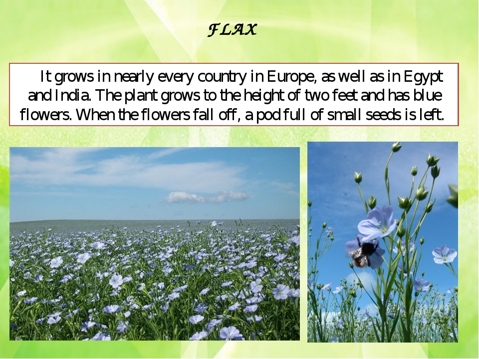 FLAX It grows in nearly every country in Europe, as well as in Egypt and Indi...