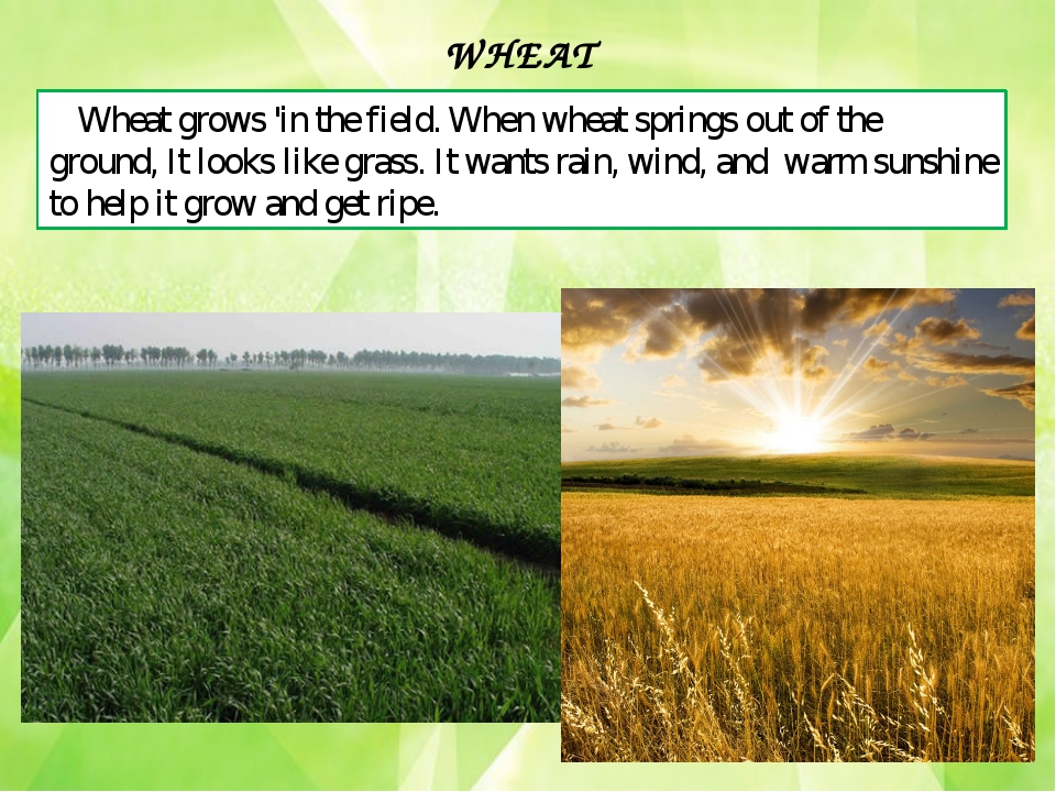 Wheat grows 'in the field. When wheat springs out of the ground, It looks lik...